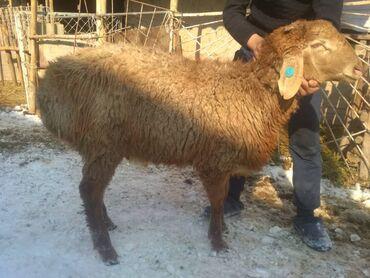Гиссарская порода овец - Кыргызстан: Продаю | Овца (самка), Баран (самец) | Гиссарская, Полукровка, Долан | На забой, Для разведения, Для шерсти
