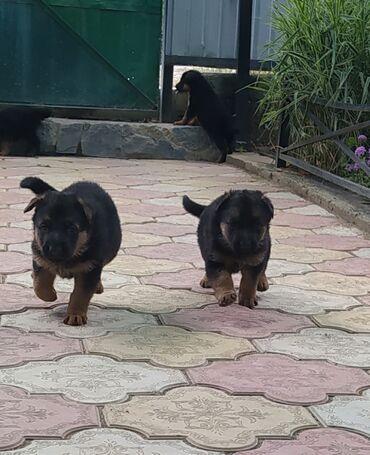 Животные - Каракол: Продаю щенков чистокровной овчарки, трёх девочек.Каракол