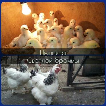 Цыплята светлой брамы,родительское в Бишкек
