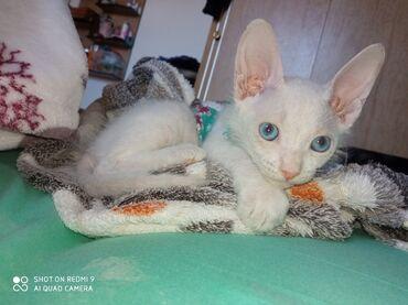 Коты - Кыргызстан: Продаю котенка !!!Породы: корниш-рекс девочка, 3 месяца к лотку