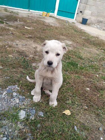 Собаки - Кыргызстан: Щенок алабая 1 месяц 20 дней  Интересует обмен на щенка питбулья