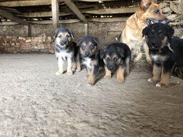 Животные - Беловодское: Продаю щенков немецкой овчарки больше 2 месяцев осталось 2 штуки кабел