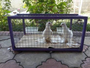 Продаю голубей Тебрис пара 8000 сом. Голубь Голубка Голуби Когучкон в Бишкек