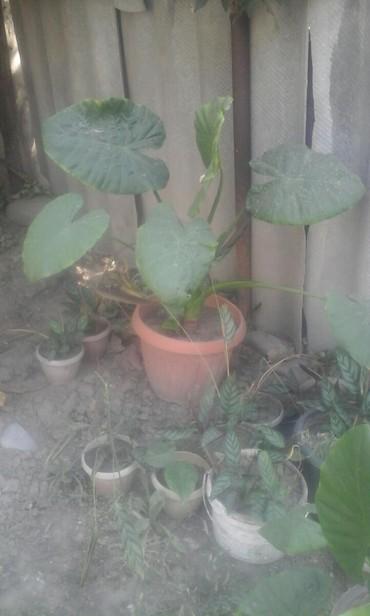 растение-комнатная в Кыргызстан: Продаю цветы большая калла 500 сом маленькие цветы по 100 сом