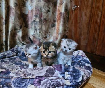 Продаются котята шотландские вислоухие