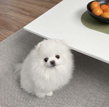 Pomeranian κουτάβια διαθέσιμα προς πώληση και παράδοση. Για