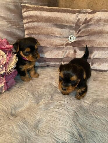 Call bred yorkshire terrier puppies for saleWe have distinct male and