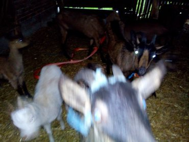 Koze Dve Alpina koze za 6000 - Raca Kragujevacka
