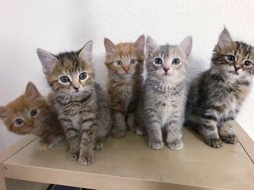 Όμορφα γατάκια του Maine CoonViber +Όμορφα γατάκια του Maine Coon