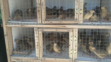 - Azərbaycan: 45 gunluk bildircin birazdan yumurticekler biri 1.50 qep