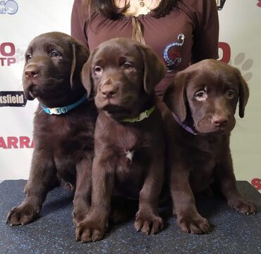 Chocolate labrador retriever puppies Vaccinated and wormed purebred