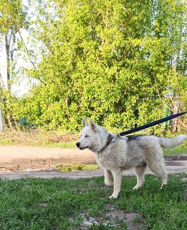 Собаки - Кыргызстан: Продается щенок (мальчик 6месяцев) сибирской хаски. Окрас : серо-белый