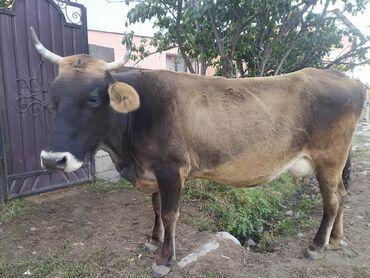 139 объявлений   ЖИВОТНЫЕ: Продаю   Корова (самка)   Алатауская   Для разведения, Для молока   Племенные, Стельные, Искусственник