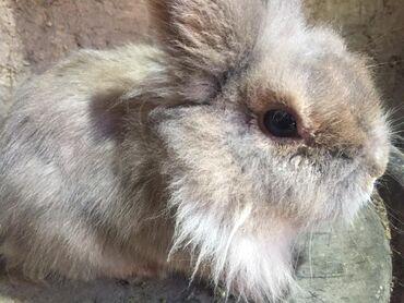 Хонор 9 х цена в бишкеке - Кыргызстан: Продам декоративного кролика Очень милого карамельного цвета ласковог