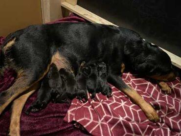 Μόλις γεννήθηκε όμορφα κουτάβια Rottweiler  οικογένεια εκτραφεί, οικο