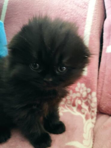 Котенок Шотландской породы (девочка)Продается котенок ШотландецПапа -