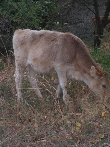 57 объявлений   ЖИВОТНЫЕ: Коровы, быки