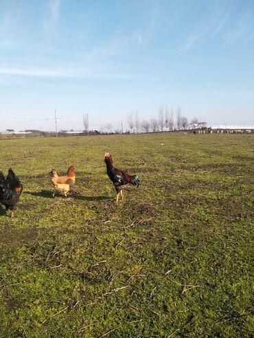 Животные - Гёйтепе: Heyrati doyusendi 10 ayindi