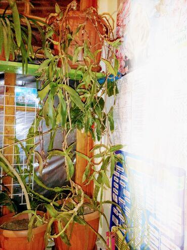 рассрочка квартира ош in Кыргызстан   ПОСУТОЧНАЯ АРЕНДА КВАРТИР: Другие комнатные растения