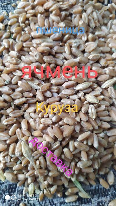 ячмень бишкек in Кыргызстан   ГРУЗОВЫЕ ПЕРЕВОЗКИ: Пшеница+ячмень +кукуруза оптом и в розницу+доставка