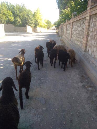 Животные - Кадамжай: Машинага алмаштырам 9 козу 7- Айлык козулар 1 кой - кадамжай болом