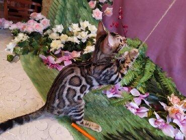 домик туалет для кошек в Кыргызстан: Проф.питомник Бен Гла Мур занимающийся улучшением бенгальской породы