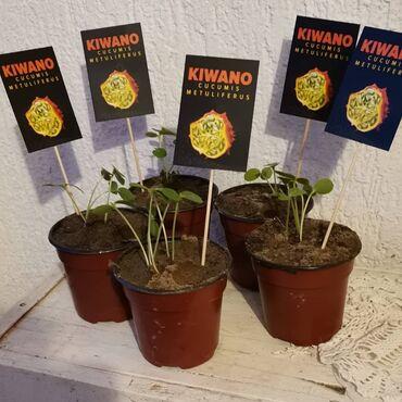 Kivano. 50 semenki - 500 din 120 semenki - 1000din 1 sadnica - 300 din