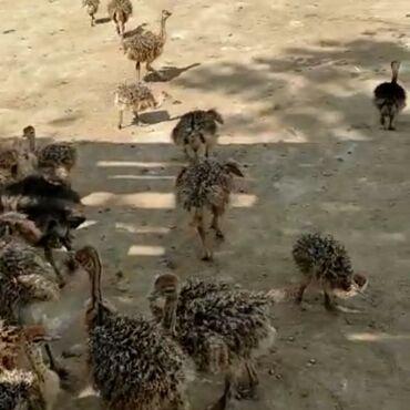 597 объявлений: Африканский страус 40 ден