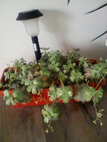 Kaktusi koji su bez bodlji sa cvetom - Sopot