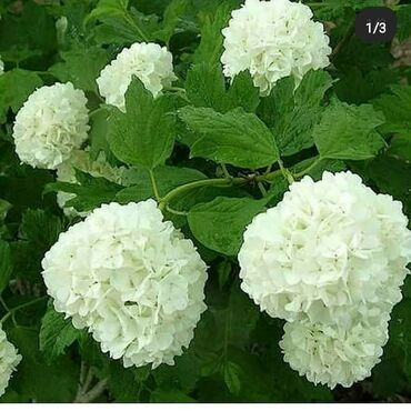 Otaq bitkiləri Xırdalanda: Buldanej ağacları satılır her qiymete var 15 20 25