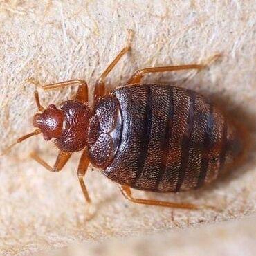Клининговые услуги в Кыргызстан: Дезинфекция!!!  Тараканы, клопы, клещи, блохи и другие насекомых!!!