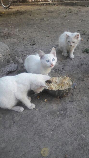 Коты - Беловодское: Отдам в Добрые руки котят.возраст 2.5 месяца.Мама крыс ловит 100%.Могу