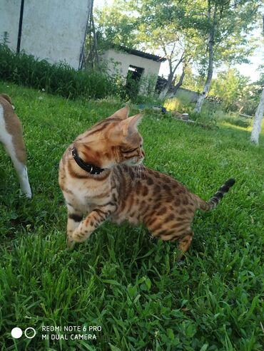 Идёт резерв котят. Бенгалы — бенгал, бенгальские, преданные владельцу