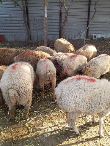 quzular - Azərbaycan: 13 eded erkey quzu satlir oz heyet heyvanimdi hamsin alana endirim