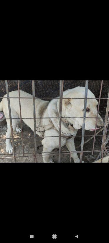 Собаки - Кыргызстан: Собаки
