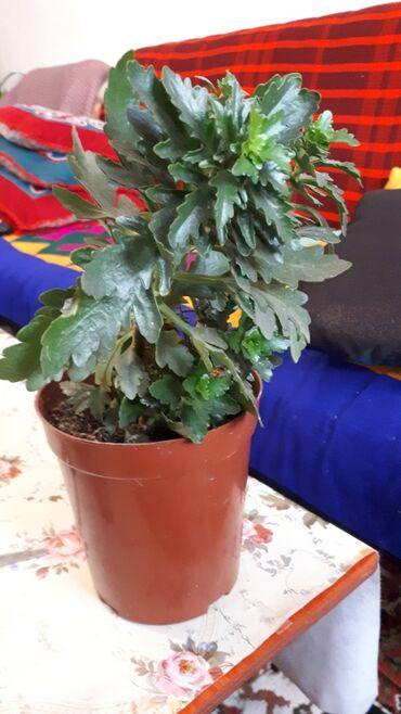 цветущую герань в Кыргызстан: Продаю каланхое сортовое цветущая