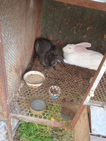Животные - Заря: Продаю | Кролик самец | Для разведения