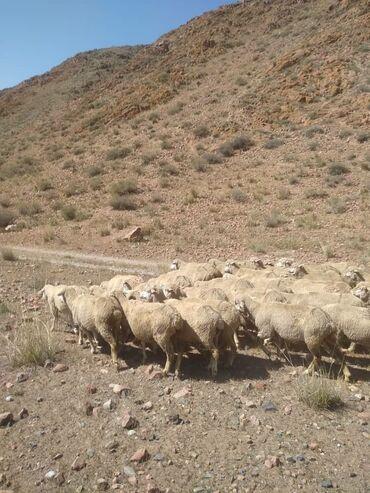 8909 объявлений: Продаю | Овца (самка), Баран (самец) | Меринос | На забой, Для разведения, Для шерсти | Племенные, Осеменитель, Матка