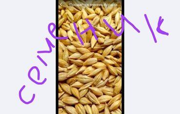 Семена и уличные растения - Кыргызстан: Продаю Семена Канадского сорта ячменя 2х рядка . С Под комбайна Гибр