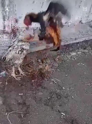 23 объявлений   ЖИВОТНЫЕ: Ушул сары Дакан корооз сатылат корооз 4 кг 1 жарым жаш корооз ударник