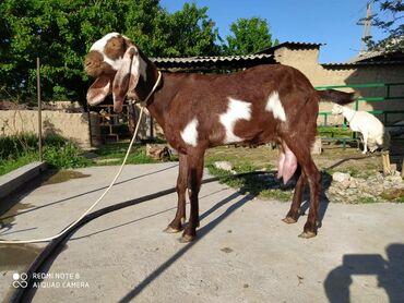 Другие животные - Кыргызстан: Сатылат адрес Баткен