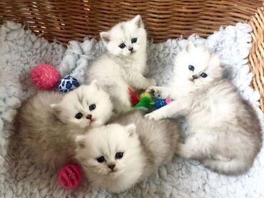 Η KC έχει καταχωρήσει βρετανικά γατάκια μακρυμάλλης προς πώληση Belle