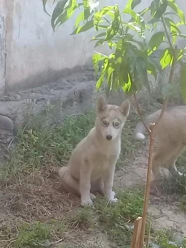 хаски в Кыргызстан: Собака хаски