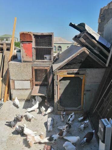 bul bul - Azərbaycan: 3 dene quş xana satılır 3 cu 100 manata qiymet sondu boyuya 70-80 dene