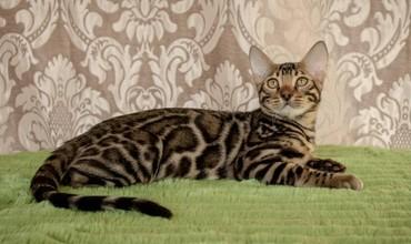 Бенгальские котята новый помет. Элита кошачьего мира.Питомник бен гла