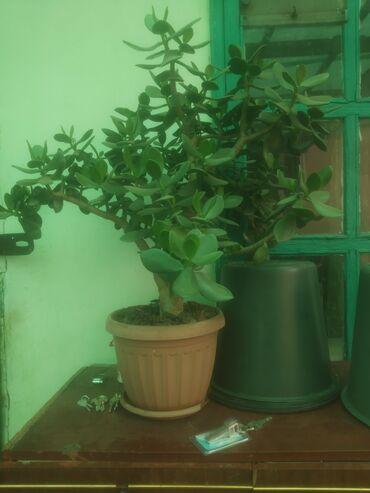 Продаю живое дерево