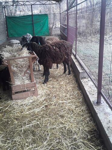 Продаю | Овца (самка) | Гиссарская, Эдильбаевская | Матка