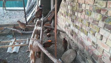 продажа цыплят в бишкеке в Кыргызстан: Охотничий фазан обыкновенный, в продаже 8 курчек и 2 петуха, также ест