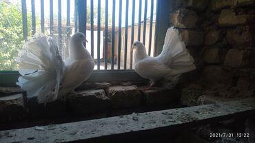 Животные - Военно-Антоновка: Голуби Павлины молодая пара на продажу шикарные Белые. Цена за пару
