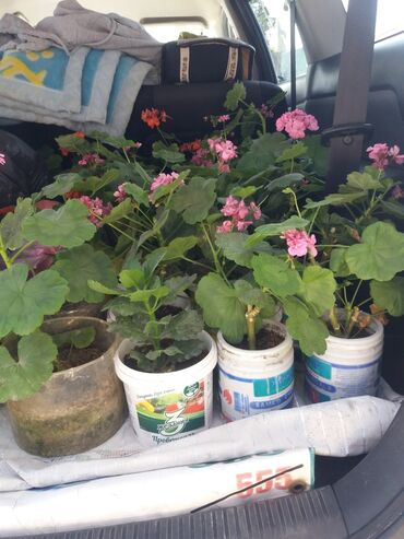 Теплицы - Кыргызстан: Цветы Геран 50 сом